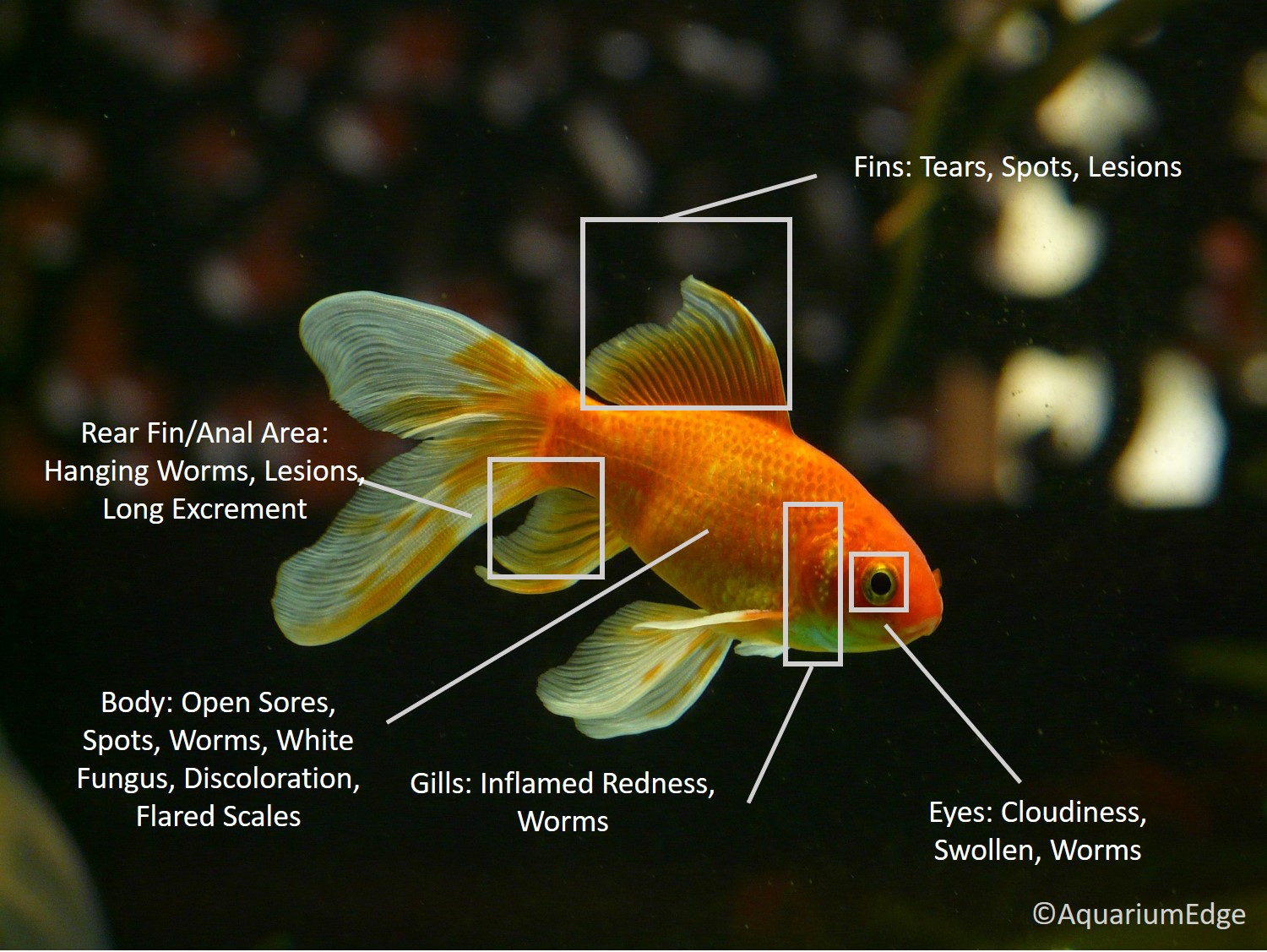 Gold fish with areas selected