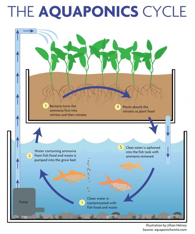 aquaponics cycle