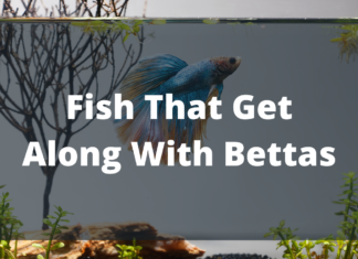 Fish That Get Along With Bettas